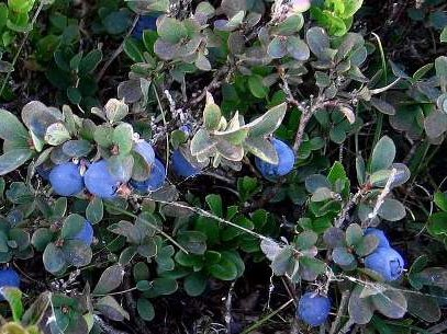 Vaccinium gaultherioides Bigelow