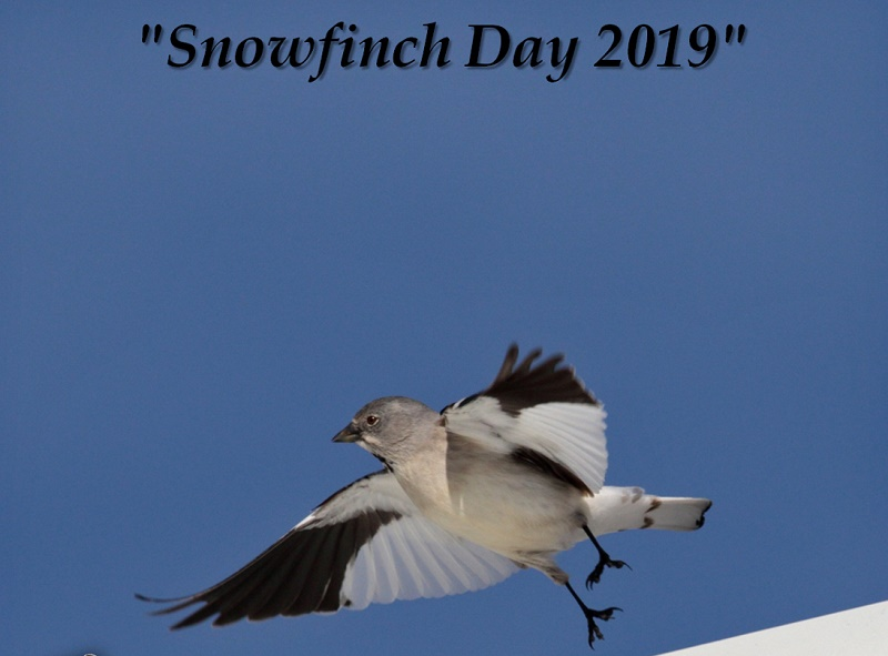 Snowfinch Day 2019